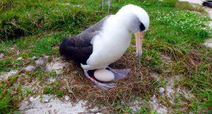 Wisdom - albatros wysiaduje jajo
