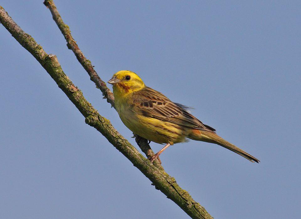 Czy ptaki śpiewają w różnych językach?